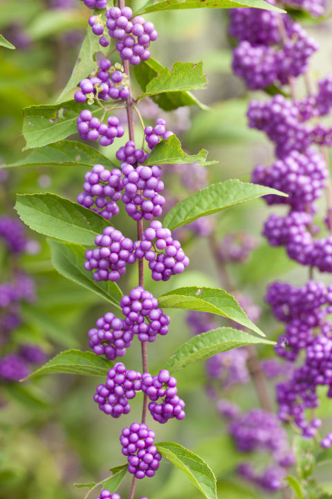 These fast-growing shrubs look beautiful in every season, with lilac-like flowers in spring and bright purple berries that last into winter.<br />
